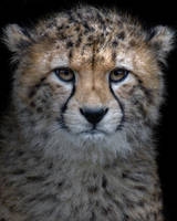 Cheetah Cub by Capture-the-Light