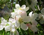 Apple Blossoms by Caladium