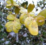 Iced Leaves by Caladium