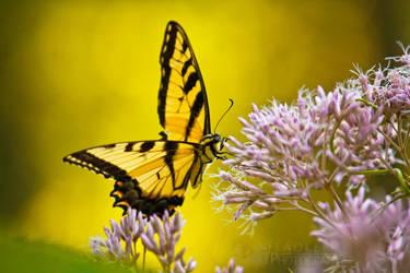 Yellow Butterfly by BStadler
