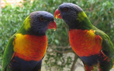 Rainbow lorikeets by sydneysiders