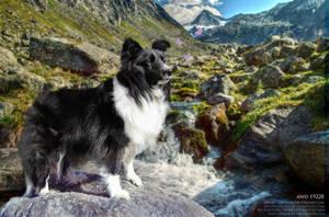Shetland Sheepdog at River by stacybarnes
