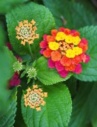 Fire Flower by Kilica