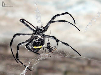 Araneae by BrunoDeLeo