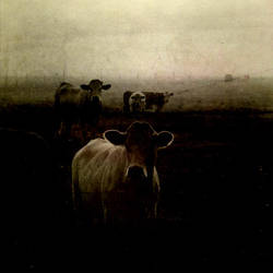 les vaches by laflaneuse