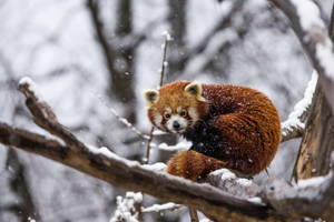 Red Snow Panda by morgh-us