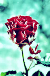 rose by WhenGodsCollide