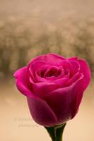 Rose by Bobbykim666