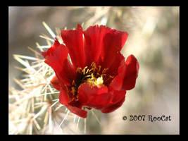 Buckhorn Cholla Cactus Flower by RooCat