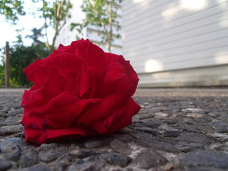 Sur le Pave, la Rose. by Naucha
