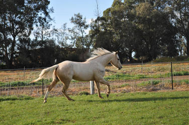 Johnny 71 by ForTheLoveOfAHorse