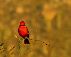 Vermillian Fly Catcher by wonenownlee