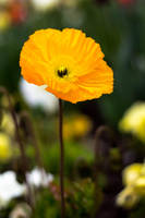 Glaucium flavum by paschlewwer