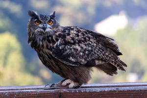Eurasian eagle-owl (Bubo bubo) by paschlewwer