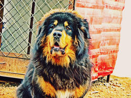 tibetan mastiff by jay1983