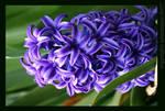 Purple Hyacinth by niamhsfaeries