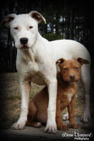 PITBULLS by dvineyard