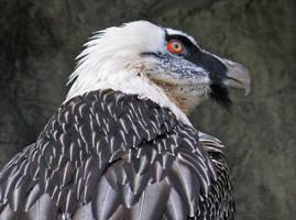 Bearded Vulture by Eruntir