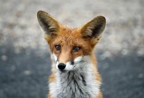 Fox Portrait by Eruntir
