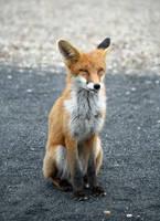 Happy Fox by Eruntir