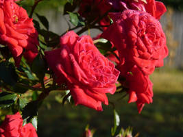 The morning dew - flowers by IAmMarauder