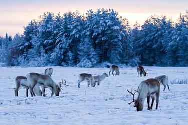 Reindeer by markotapio