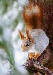 squirrel by markotapio