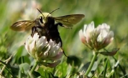 Honey Suckle Bee by OurHeroXero