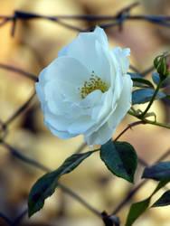 Rose by jellybear07