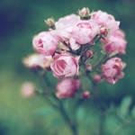 Rose by saraenbom