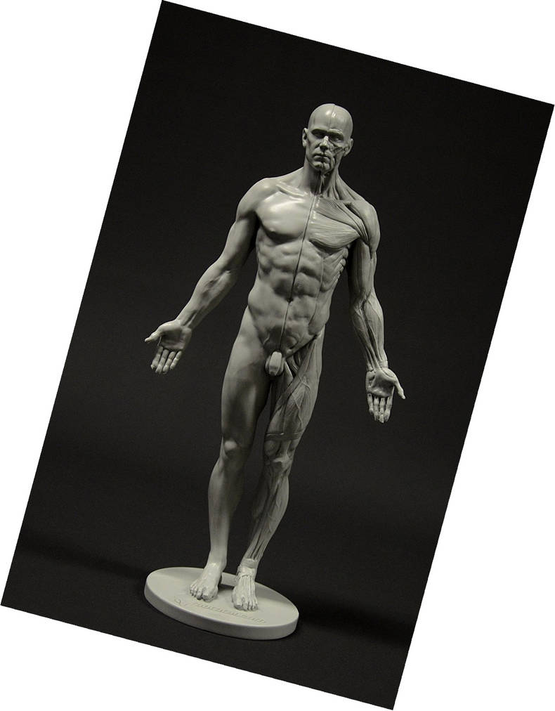 Win An Awesome Male Anatomy Figure For Free By Humananatomy4artist