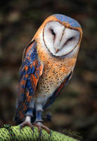 Heart-Shaped Face Barn Owl by BenHeine