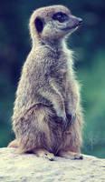 Meerkat by JArdley