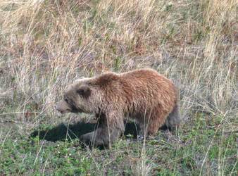 Brown Bear Foraging by WanderingSpirit0890