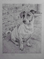Jack Russell Terrier pencil portrait by Ned-The-Hat