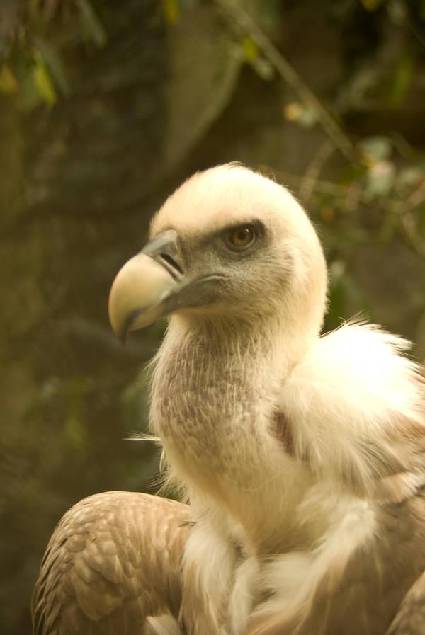 Vulture by steppelandstock