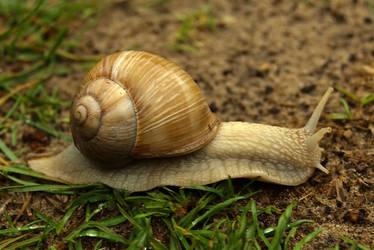 Burgundy snail 3 by steppelandstock