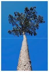 Pinus by PRibeiro
