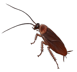 American Cockroach by Elwetritsche