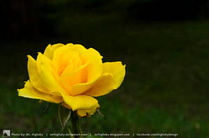A Yellow Rose by MrHighsky