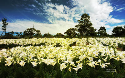 Lillies Field by AndreaAndrade