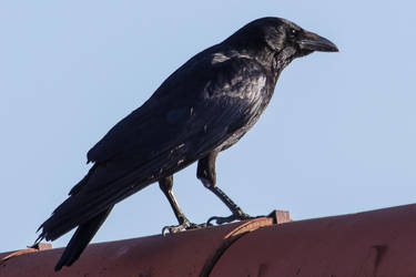 Crow by ChristophMaier