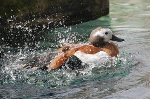 Crazy Splashy Duck by TheWritingDragon