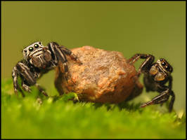 jumping spiders by Tamyl91