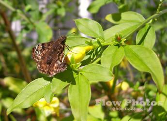 Gelsemium Moth by Enty