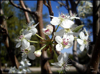 Pear Bloom Cluster by Enty