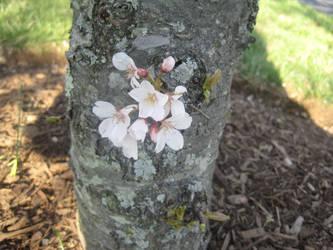 Sakura by xsweetxXcandyx