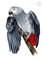 Fifty shades of the African Grey by ArtbyKerli