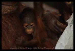 Pongo by Twins72
