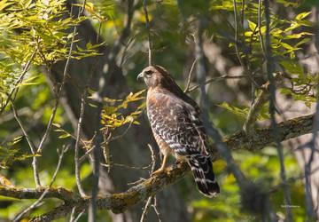 Red Shouldered Hawk Focused by RickDunlap2